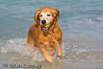 Golden Retriever (Canis lupus familiaris) retrieving Toy from water at the Beach in southwest Florida.   This popular Breed was developed in Scotland in the mid-1800's as a gundog and retriever.  MR.