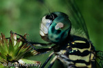 Blue Dasher Dragonfly (Pachydiplax longipennis) eye detail, portrait, Florida