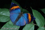 Indian Leaf Butterfly (Kallima inachus) India & Pakistan through China