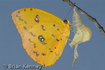 Orange-barred Sulphur Butterfly (Phoebis philea) Winter Form Female newly emerged from Chrysalis, Florida