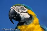 Blue and Gold Macaw (Ara ararauna) portrait, South America, CITES II