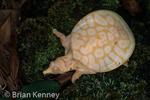 Albino Florida Softshell Turtle (Apalone ferox, Syn: Trionyx ferox) hatchling, Florida