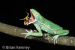 Painted Belly Monkey Frog (Phyllomedusa sauvagii) catching Grasshopper, Paraguay