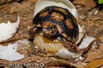 Red-footed Tortoise (Chelonoidis carbonaria / Syn: Geochelone carbonaria) Hatching, Central & South America (Panama, Colombia, Venezuela, Brazil, Caribbean Islands, Guyana, Surinam, French Guiana, Bolivia, Paraguay, & Argentina) CITES II.