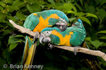 Blue-throated Macaws / Caninde Macaws (Ara glaucogularis) Pair allopreening, preening each other in courtship behaviour, Bolivia, Critically Endangered Species-IUCN, CITES I