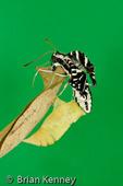 Zebra Swallowtail Butterfly (Eurytides marcellus floridensis) Emerging from Chrysalis / Metamorphosis. Florida