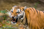 Indochinese Tiger (Panthera tigris corbetti) Snarling, Aggression, Threat Display.  Endangered Species (IUCN Red List & USESA).  CITES I.  Range = Thailand, China, Myanmar, Cambodia, Laos, Vietnam, & Malaysia.