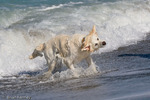 Golden Retriever (Canis lupus familiaris) shaking to dry off after playing in the water at the Beach in Florida.   Model Release.