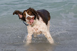 English Springer Spaniel (Canis lupus familiaris) Show-bred dog shaking to dry off while playing at the beach in Florida.  Model Release.
