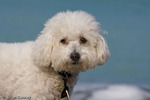 Bichon Frise (Canis lupus familiaris) at the Beach in Florida.  Model Release.