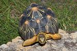 Radiated Tortoise (Astrochelys radiata / Syn: Geochelone radiata) Endemic to southern Madagascar.  Critically Endangered (IUCN).  Endangered (USESA). CITES I.