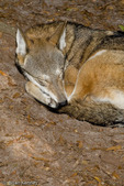 Red Wolf (Canis rufus) Sleeping with Nose tucked into Tail, southeastern United States.  Critically Endangered (IUCN).  Endangered (USESA).