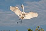 Great Egret / Common Egret (Ardea alba egretta / Syn: Egretta alba egretta; Casmerodius albus egretta) in Flight, Landing at Rookery on Red Mangrove Island, southwest Florida.  Subspecies range = North America.
