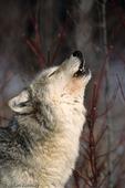 Great Plains Wolf / Timber Wolf / Gray Wolf (Canis lupus nubilus) Howling / Communication, Minnesota.