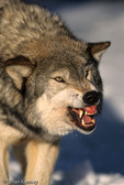 Great Plains Wolf / Timber Wolf / Gray Wolf (Canis lupus nubilus) Snarling / Aggression, Minnesota.