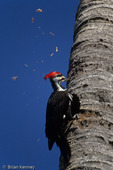Male Pileated Woodpecker (Dryocopus pileatus) excavating nest hole in dead palm tree (note flying wood chips), Pine Island, Florida.  The species breeds in Canada, the eastern United States, and parts of the Pacific coast.