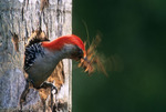 Red-bellied Woodpecker (Melanerpes carolinus) excavating nest hole in dead palm tree (shaking head violently to dislodge wood chips stuck on bill), Venice, Florida.  Species range = southern Canada and eastern United States.
