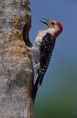 Red-bellied Woodpecker (Melanerpes carolinus) Calling at entrance to nest hole in dead palm tree, Sanibel Island, Florida.  Species range = southern Canada and eastern United States.