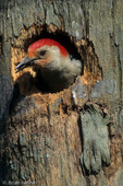 Red-bellied Woodpecker (Melanerpes carolinus) excavating nest hole in dead palm tree (note wood chips in mouth), Venice, Florida.  Species range = southern Canada and eastern United States.