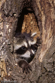 Common Raccoon (Procyon lotor) peering out of hole in tree, Montana.  Species range = southern Canada and most of the United States.