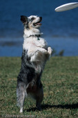 """Blue Merle Aussie Playing Frisbee, Florida. The Australian Shepherd or """"Aussie"""" (Canis lupus familiaris) breed of working dogs was actually developed in the western United States, in spite of its name.  They are used as stock dogs, search and rescue dogs, disaster dogs, detection dogs, guide dogs, and family pets. MR."""