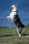"""Blue Merle Aussie Standing on its Hind Legs, Florida.  The Australian Shepherd or """"Aussie"""" (Canis lupus familiaris) breed of working dogs was actually developed in the western United States, in spite of its name.  They are used as stock dogs, search and rescue dogs, disaster dogs, detection dogs, guide dogs, and family pets. MR."""