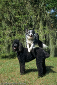 Blue Merle Rough Coat Border Collie Jumping over a Standard Poodle, Florida.  The Border Collie Breed (Canis lupus  familiaris) was developed in the Scottish / English Border country around 1900 as working dogs for herding sheep.  MR.