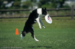 Tricolor Rough Coat Border Collie Playing Frisbee, Florida.  The Border Collie Breed (Canis lupus  familiaris) was developed in the Scottish / English Border country around 1900 as working dogs for herding sheep.  MR.