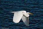 Great Egret / Great White Egret / Common Egret (Ardea alba egretta / Syn: Egretta alba egretta; Casmerodius albus egretta) in Breeding Plumage, flying low over water in southwest Florida.  Like most egrets and herons, it flies slowly with its neck retracted.  Subspecies range = North America.  Species found in tropical and temperate regions throughout the world.