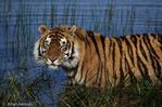 Bengal Tiger (Panthera tigris tigris) India.  Endangered Species (USESA & IUCN)