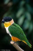 Black-headed Caique (Pionites m. melanocephala) Colombia, Brazil, Venezuela, French Guiana, Guyana, & Surinam (South America).  CITES II.