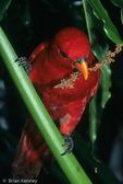Moluccan Red Lory / Amboina Red Lory (Eos bornea bornea) Moluccan Islands of Amboina & Saparua, Indonesia.  CITES II.