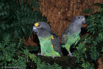 Meyer's Parrots (Poicephalus meyeri) mated pair, central and east Africa.  CITES II.