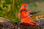 Blue-streaked Lory / Blue-necked Lory (Eos reticulata) Bathing, Tanimbar Islands, Indonesia. CITES II.