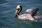 Eastern Brown Pelican (Pelecanus occidentalis carolinensis) Adult in Breeding Plumage Bathing in the Gulf of Mexico, Florida.  State Bird of Louisiana.