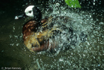 White-faced Whistling Duck (Dendrocygna viduata) Bathing.  Breeds in South America & sub-Saharan Africa.