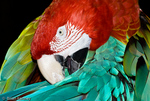 Green-winged Macaw / Red & Green Macaw / Red & Blue Macaw (Ara chloroptera) preening.  South America.  CITES II