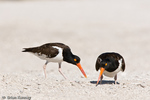 American Oystercatcher / American Pied Oystercatcher / Oystercatcher (Haematopus palliatus) Changing of the Guard.  Both parents take turns incubating the eggs and guarding the nest for 24 to 29 days.  Bird on right has just stood up, revealing the egg in the unlined scrape nest on the beach, Blind Pass, Manasota Key, Florida.  Range = coastal areas of North, Central, & South America from Baja California & New England south to Argentina & Chile.  Protected by the Migratory Bird Treaty Act of 1918.