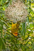 Taveta Golden Weaver (Ploceus castaneiceps) nests in reeds over water in east Africa (Kenya & Tanzania).  Male calling while hanging upside down below nest.