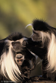Angolan Black-and-White Colobus Monkey Family (Colobus a. angolensis).  Mother cuddles baby while Father grooms Mom.  Angola, Zaire, Rwanda, Burundi, Zambia, Kenya, & Tanzania (Africa).  CITES II.