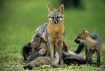 Gray Fox Family (Urocyon cinereoargenteus) Mother (vixen) with nursing young (kits), Florida.