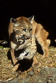 Cougar / Mountain Lion / Panther / Puma (Puma concolor / formerly: Felis concolor) mother picking up kitten by the scruff of its neck to carry it to a new den, Montana. CITES II