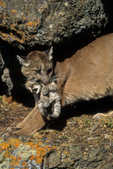 Cougar / Mountain Lion / Panther / Puma (Puma concolor / formerly: Felis concolor) mother carrying kitten by the scruff of its neck, Montana. CITES II.