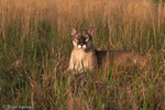 "Florida Panther / Cougar / Mountain Lion / Puma (Puma concolor coryi / formerly: Felis concolor coryi) in the Everglades ecosystem's ""river of grass"", Florida.  Endangered (USESA), CITES I."