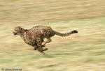 Cheetah (Acinonyx jubatus) running (blur-pan).  Africa & India.  Endangered (USESA), Vulnerable (IUCN), CITES I.