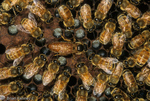 Honey Bees (Apis mellifera) Queen laying egg, surrounded by Royal Court in hive, Florida