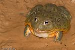 African Bullfrog / Giant Bullfrog / Giant Pixie Frog / South African Burrowing Frog (Pyxicephalus adspersus) Adult Male.  Angola, Botswana, Kenya, Malawi, Mozambique, Namibia, Nigeria, Somalia, South Africa, Swaziland, Tanzania, Zambia, & Zimbabwe (Africa).