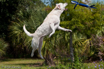 "Labrador Retriever / Labrador (Canis lupus familiaris / Syn: Canis familiaris)  is the most popular breed of dog in the world.  ""American"" or ""field-bred"" labs like this one are lighter in build and have a shorter coat than ""English"" or ""show-bred"" stock.  Yellow Lab ""Jazmine"" jumps after a ""flappy"" (toy).  Model Release."
