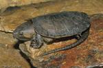 Big-Headed Turtle (Platysternon megacephalum) China, Vietnam, Laos, Cambodia, Thailand, & Myanmar (Asia).  Endangered (IUCN).  CITES II.