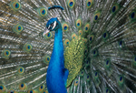 Peacock / Indian Blue Peafowl (Pavo cristatus) male displaying to attract a mate. Native to India & Sri Lanka.